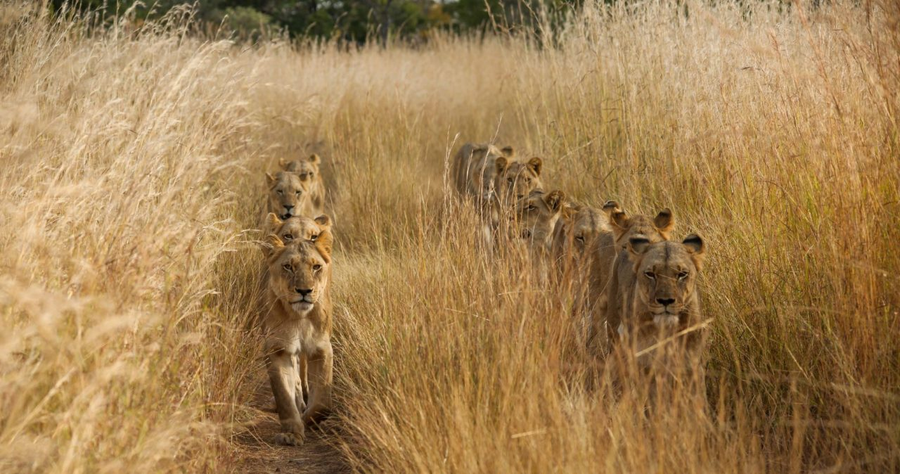 Lions in line – Most Beautiful Picture