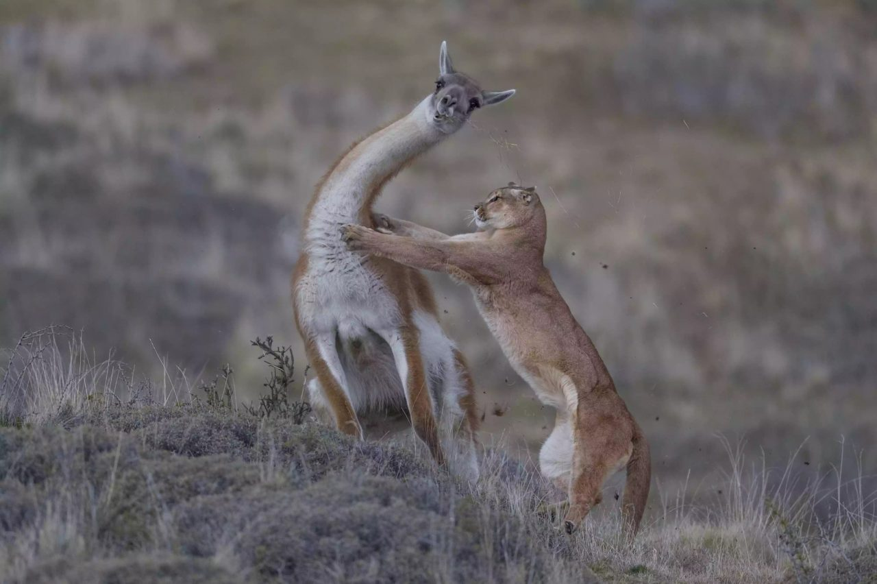 Puma attack, Torres del Paine, Chile – Most Beautiful Picture