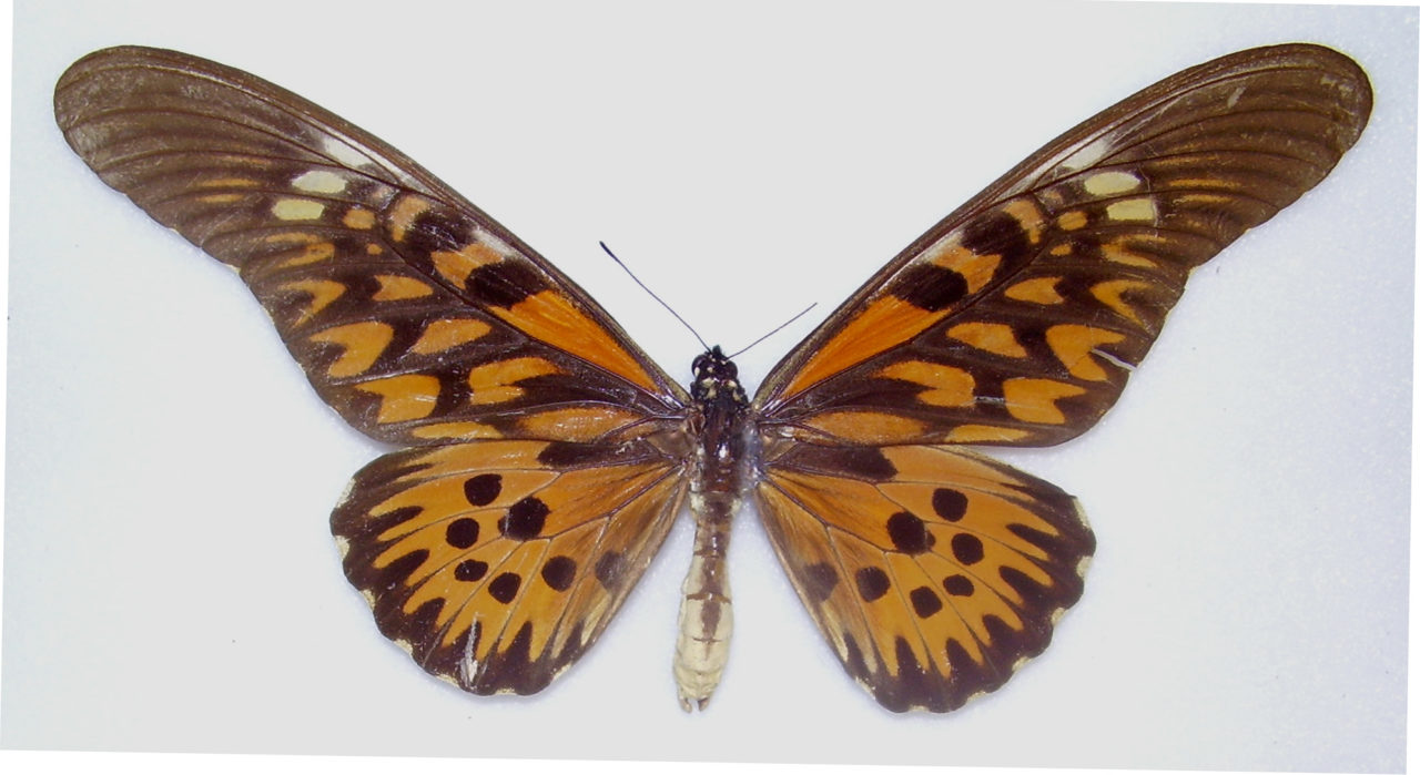 Papilio antimachus Male, Central African Republic