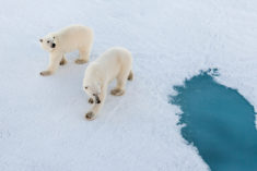 Two polar bears on the sea ice