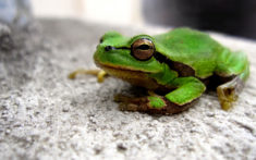 Green frog – Most Beautiful Picture