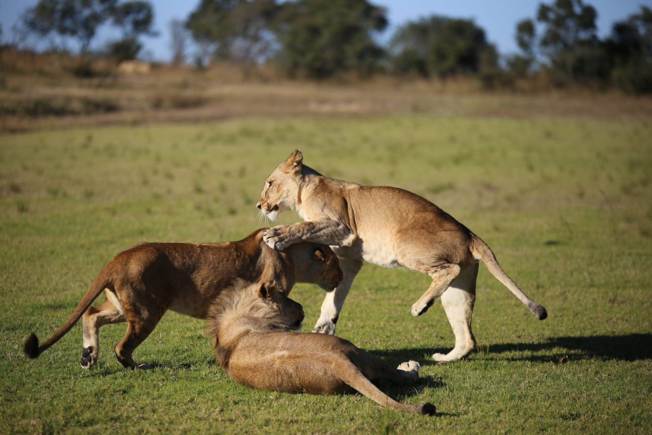 Lion pack play fighting