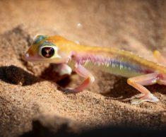 Namib sand gecko, Namibia