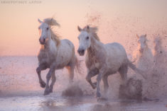 White horses, Camargue, France