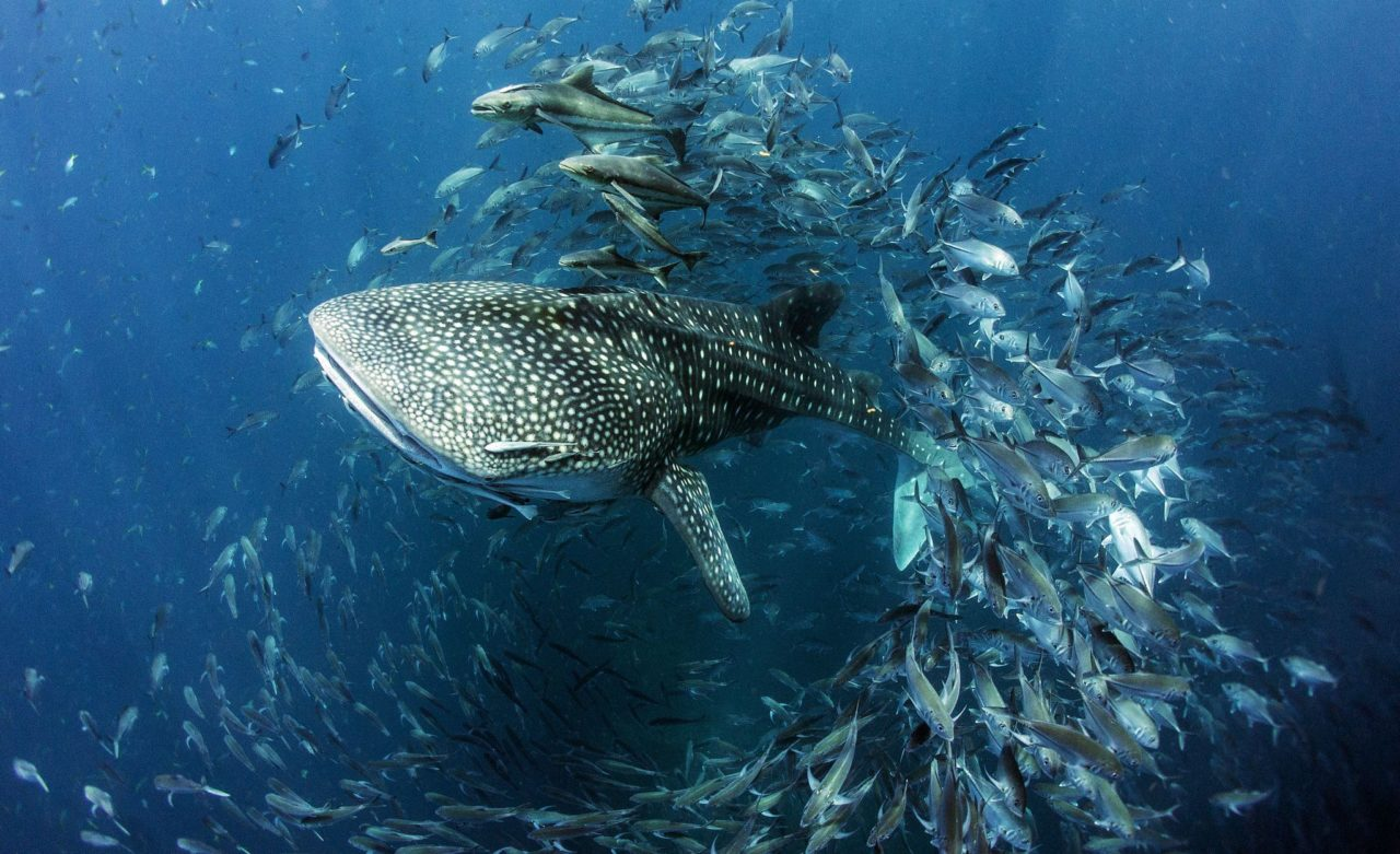 Whale shark – Most Beautiful Picture
