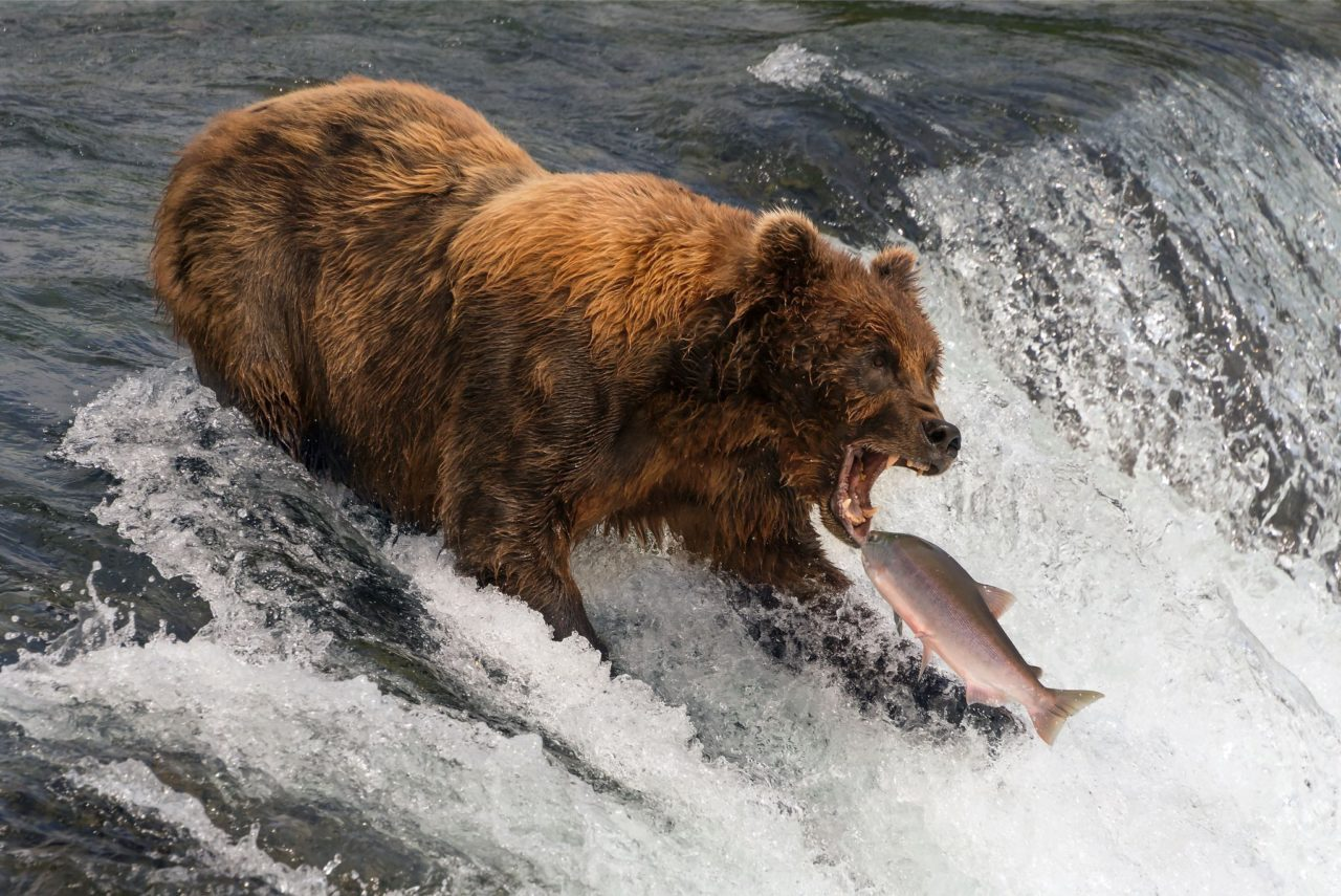 Bear catching fish – Most Beautiful Picture