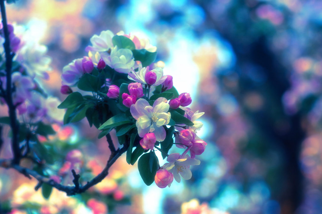 Blossom of apple tree – Most Beautiful Picture