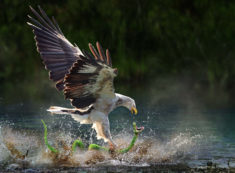 Taken in right moment, eagle catches snake photo | One Big Photo