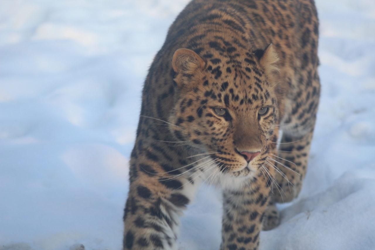 Jaguar dans la neige – Brut de Pomme