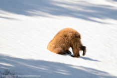 Hiding bear