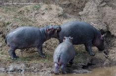 Funny hippopotamus