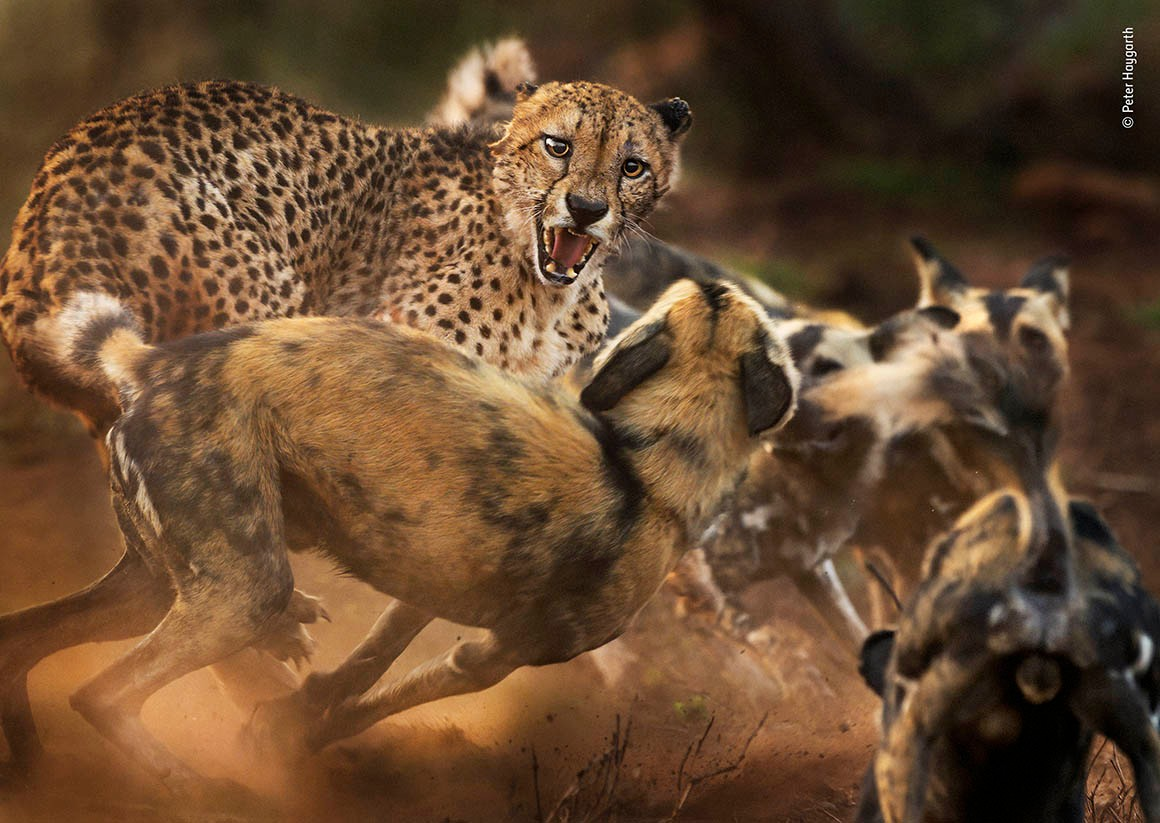 A cheetah and African wilddogs
