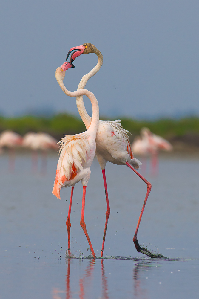 Common flamingo