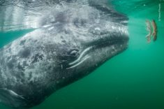 Young Grey Whale