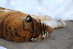 Tigre dans la neige – Brut de Pomme