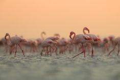 Common flamingo