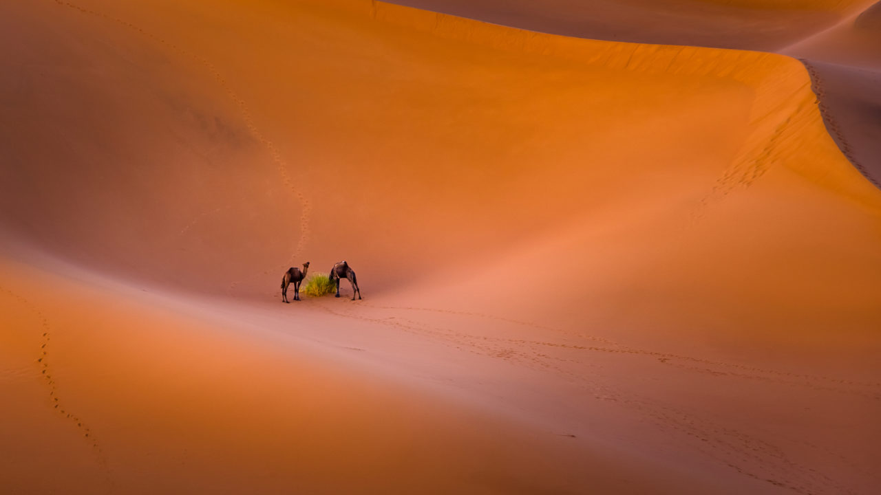 Camels – Most Beautiful Picture