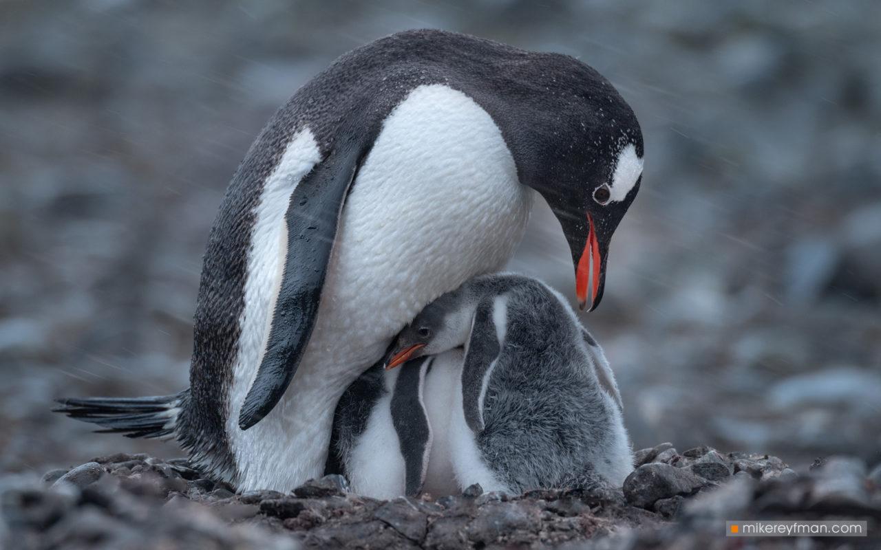 Gentoo Penguins, Yankee-Harbour, Antarctic