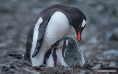 Gentoo Penguins, Yankee-Harbour, Antarctic
