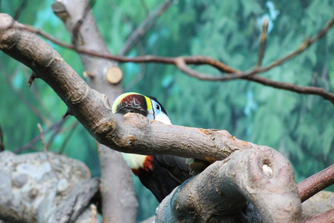Le toucan – Brut de Pomme