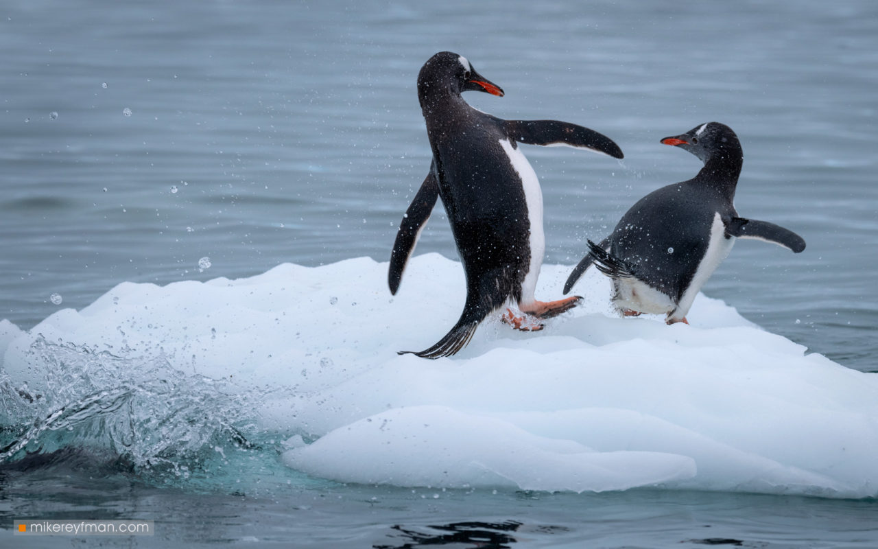 Gentoo Penguins, Cuverville Island, Antarctic