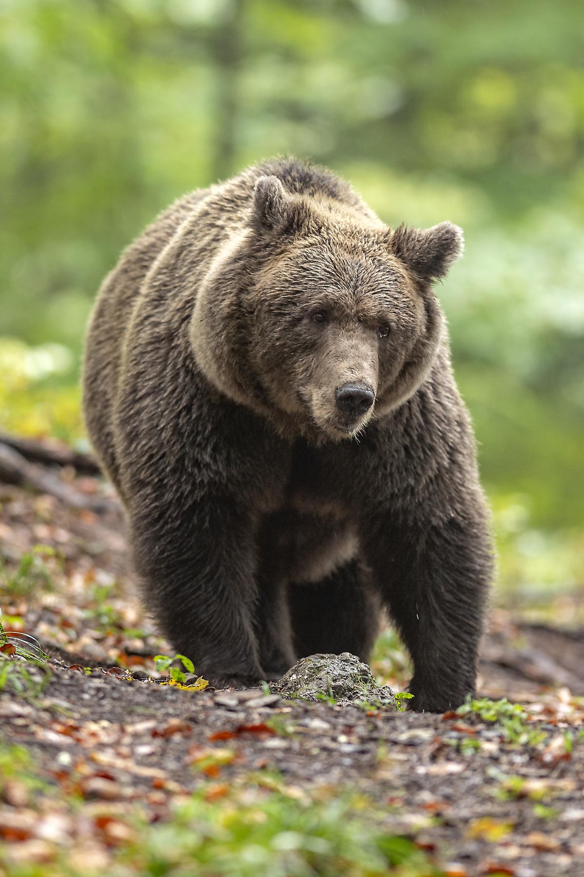 Slovenian brown bear