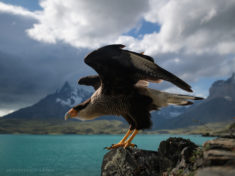 Southern crested caracara, Patagonia