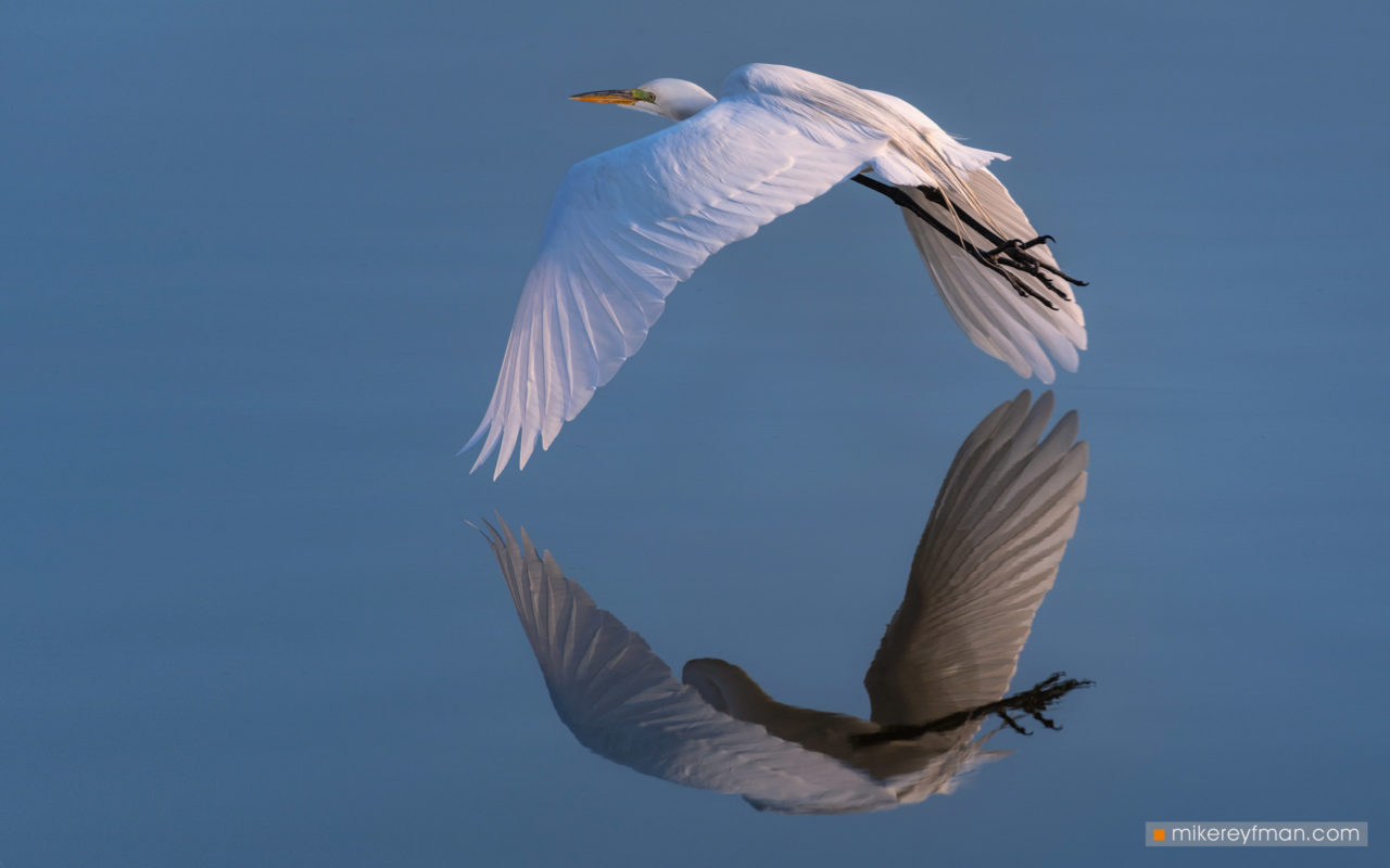 Great Egret – Most Beautiful Picture