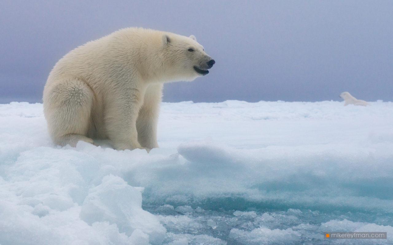 Polar Bears on the Ice, Svalbard, Arctic Norway
