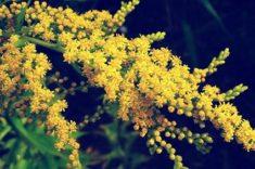 Plumed Goldenrod | LoveToKnow