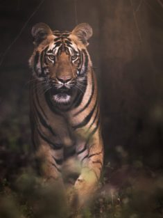 Tiger – Most Beautiful Picture