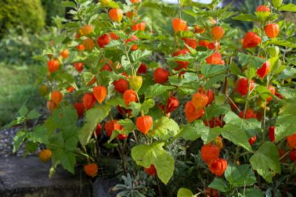 Chinese Lantern Plants   LoveToKnow