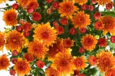 Chrysanthemum | LoveToKnow