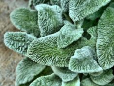 Lamb's Ear | LoveToKnow