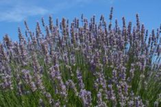 Lavender | LoveToKnow