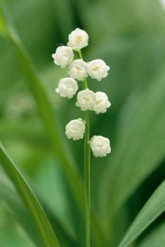 Lily-of-the-Valley | LoveToKnow