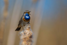 Bluethroat bird