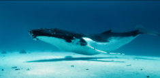 Retour des baleines à bosse – Les Baleines