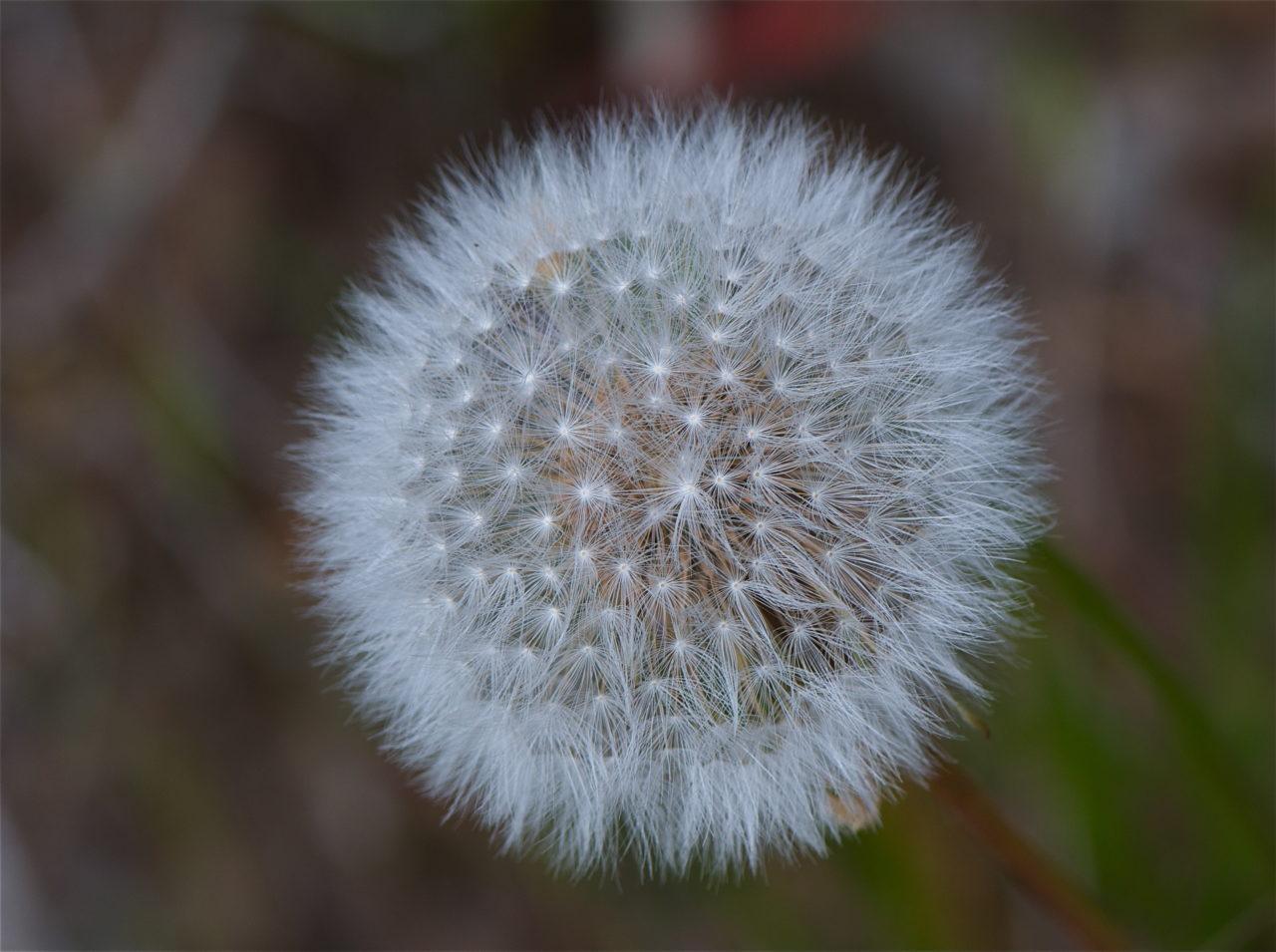 Red-seeded dandelion