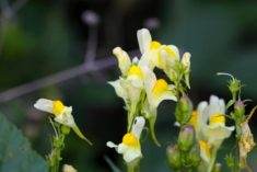 Toadflax | LoveToKnow