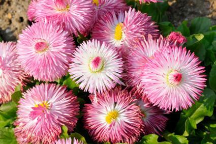 Daisy Flowers | LoveToKnow