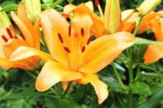 Daylilies | LoveToKnow