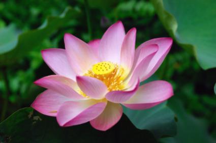 Lotus | LoveToKnow