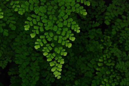Maidenhair Fern | LoveToKnow