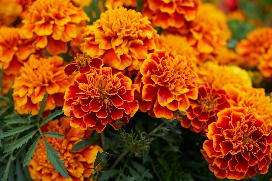 marigold flowers orange