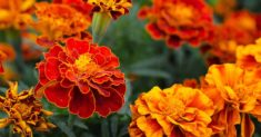 Ode-to-the-Marigold