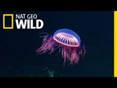 Spellbinding Jellyfish Spotted in Rare Deep Sea Footage | Nat Geo Wild