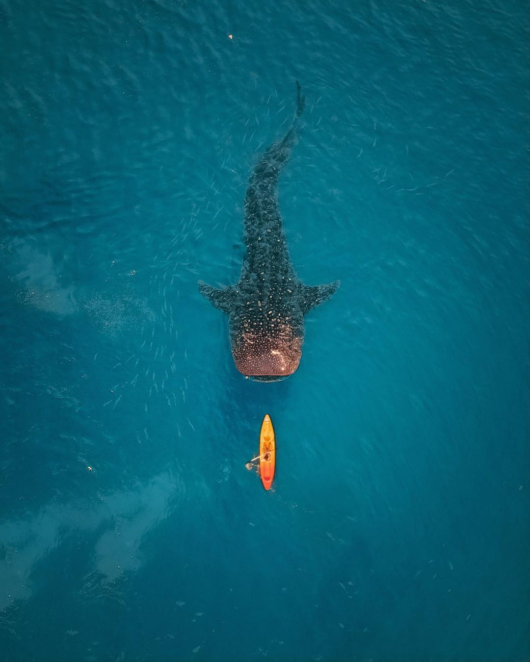 Whale Shark, Philippines – Most Beautiful Picture