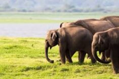 Elefanten in Gruppen