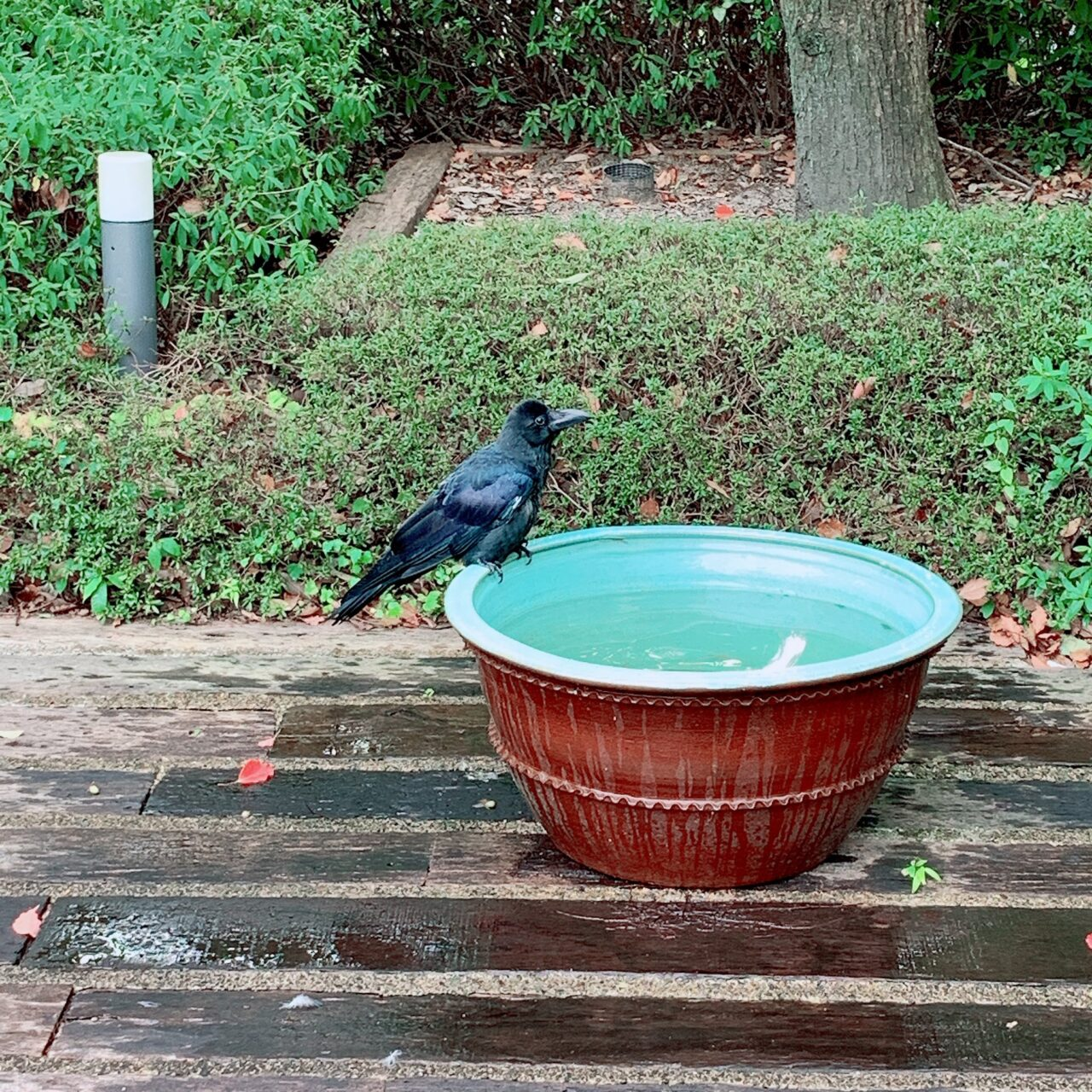 a crow drinks water